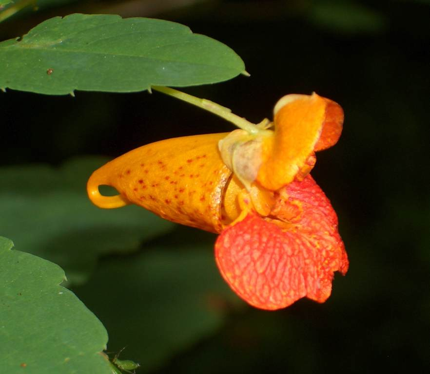 Jewelweed.jpg