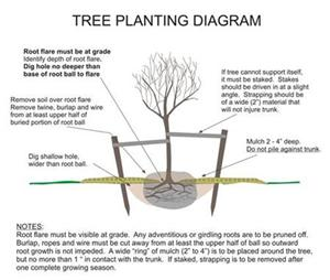 Tree Planting Diagram Opens in new window