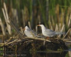 Foresters terns on nest_thumb_thumb.jpg